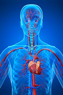 Схема сердечнососудистой системы