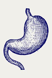 Схематическое изображение желудка