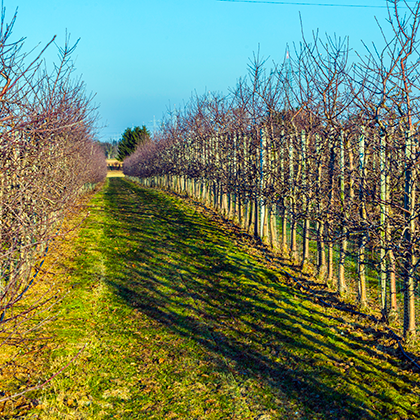 Увядший яблоневый сад