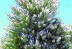 Масло чайного дерева - австралийская находка