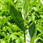 Масло чайного дерева с серебром от микробов